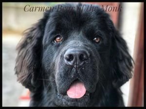 Newfoundland dog Kira Little Black Giants