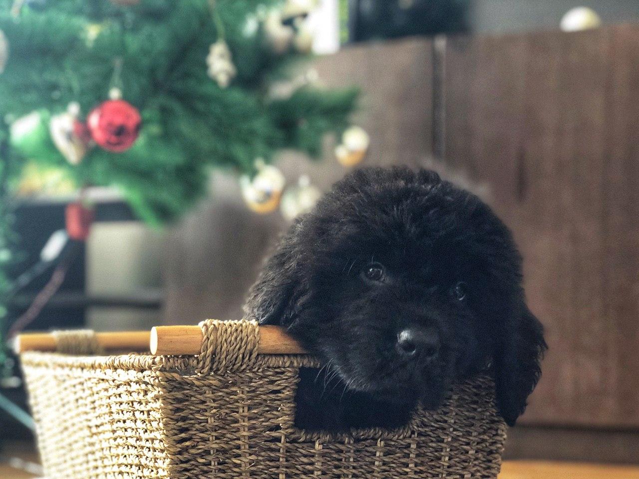 newfoundlan puppy